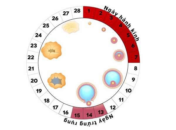 Sự rụng trứng thường diễn ra sau 28-36 giờ kể từ thời điểm hormone LH được tiết ra