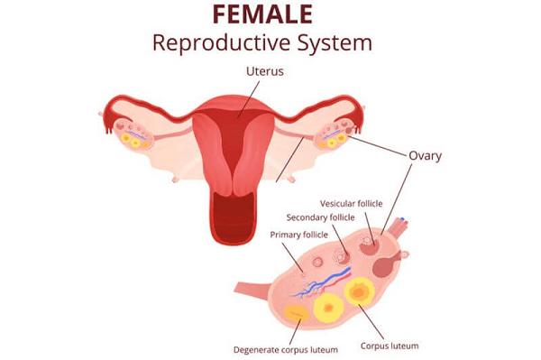 Giai đoạn hoàng thể được hình thành ở buồng trứng trong quá trình rụng trứng và thường kéo dài từ 12-14 ngày